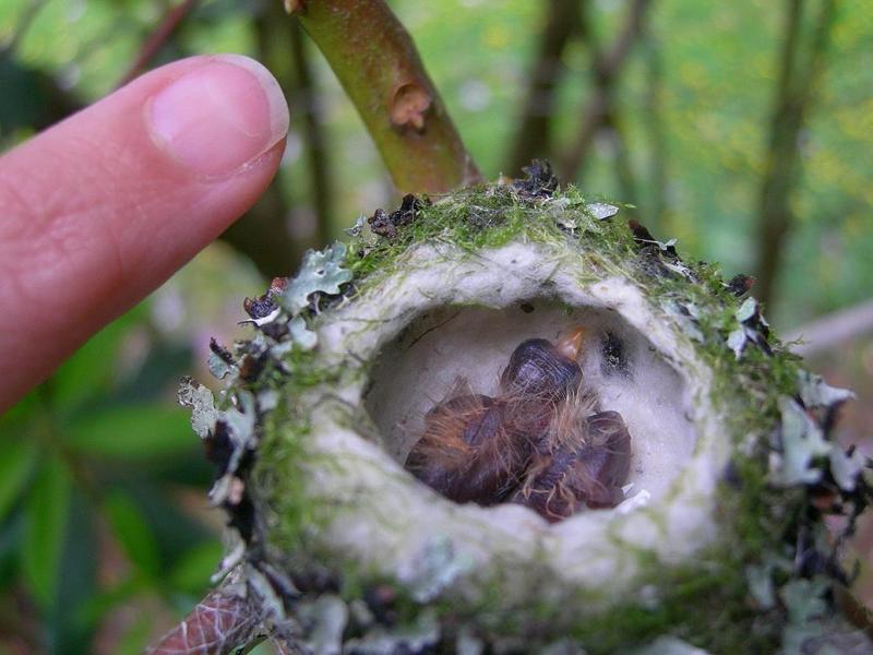 The Baby Hummingbird Captured In Photos
