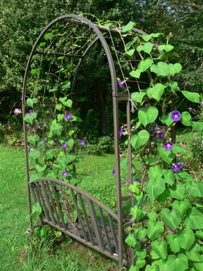 Morning Glories on Our Arbor