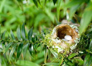 Hummingbird Eggs in Nest