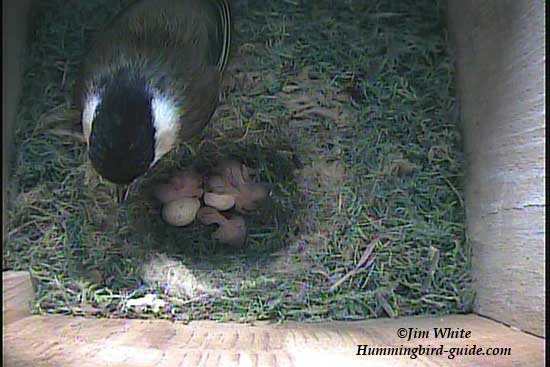 Chickadee with 4 chicks hatched.