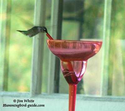 Margarita Hummingbird on our back porch.