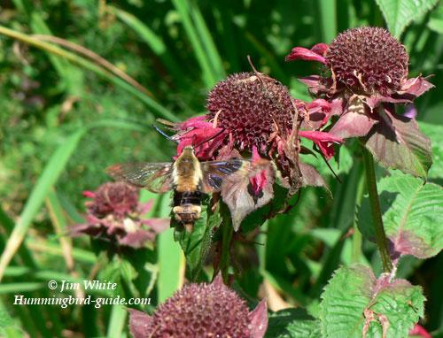 Hummingbird Moth by Jim White