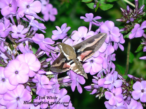 White-lined Sphinx Moth by Jim White