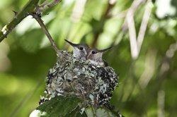 Baby Hummingbirds in Nest