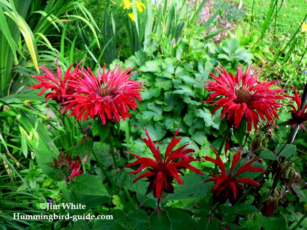 Bee Balm in our hummingbird perennial garden.