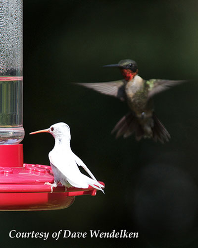 Albino Hummingbird at a Feeder