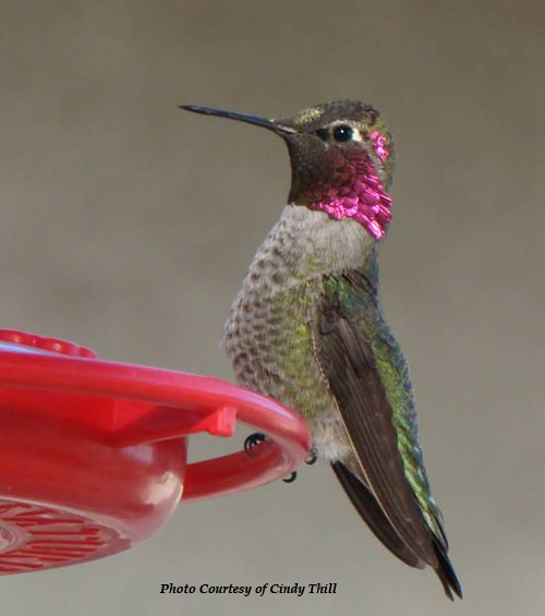 Anna S Hummingbird Identification Features Behavior And