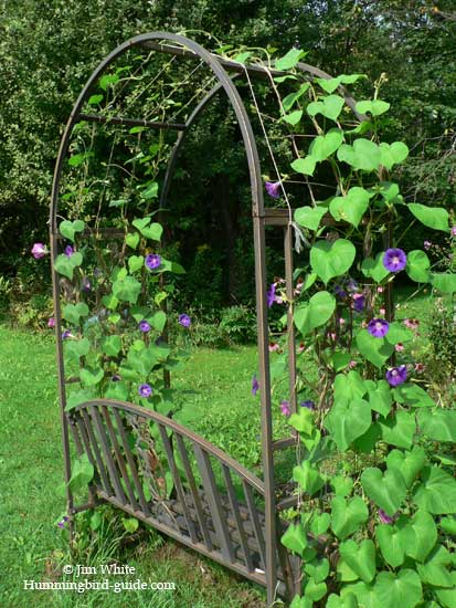 Morning Glories on our perennial garden arbor.