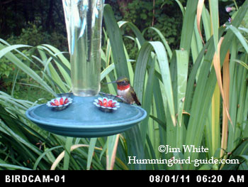 BirdCam photo of a Male Ruby-throated Hummingbird in our flower garden.