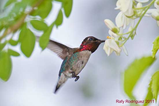 Hummingbird Species Listed By States And Provinces