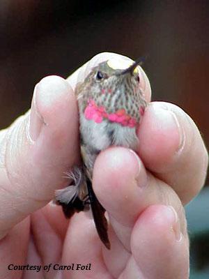 Broad-tailed Hummingbird - Juvenile