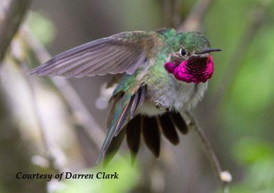 Broad-tailed Hummingbird - Male