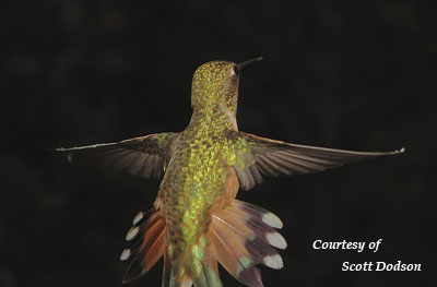 Tail of a Broad-tailed Hummingbird