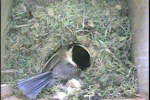 Streaming Live Bird Cam of Chickadee Nest