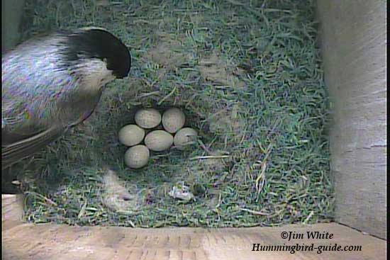 Female Chickadee in Nest Box with her 6 eggs