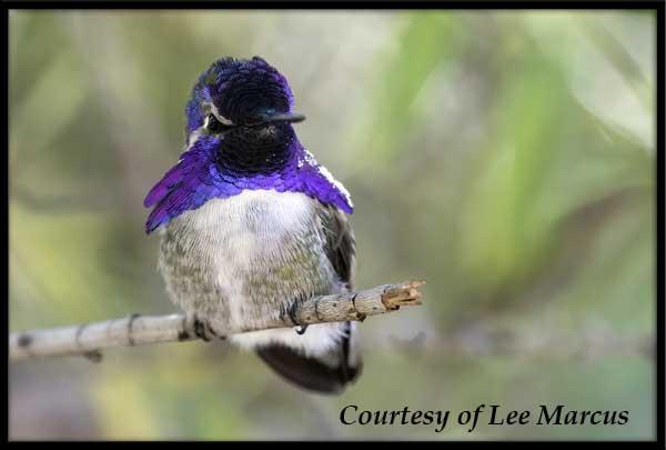 Male Costa's Hummingbird