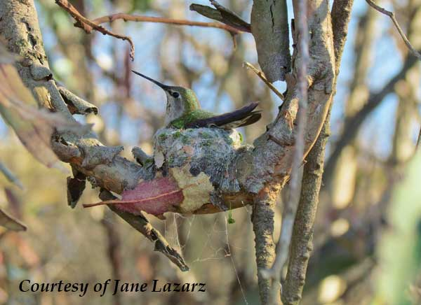Costa's Hummingbird Nest