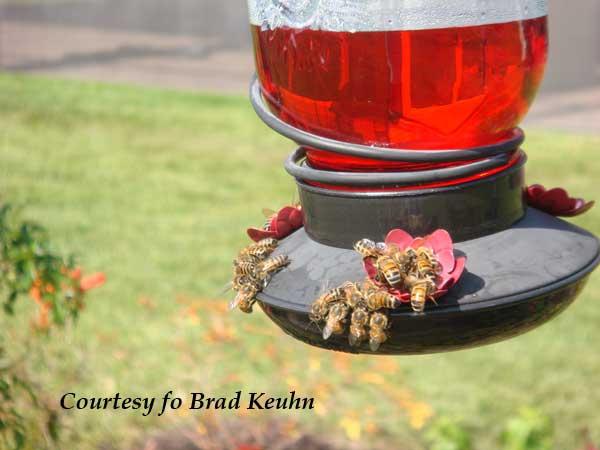 Hummingbird feeder infested with Honeybees
