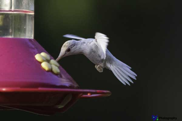 Albino Ruby-throated Hummingbird at feeder