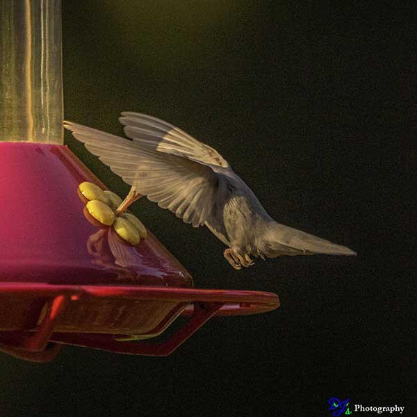Albino Ruby-throated Hummingbird in the early morning hours.