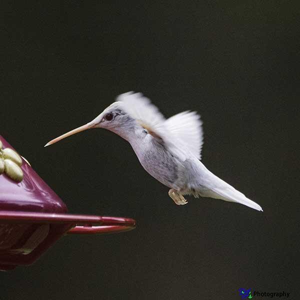 Albino Ruby-throated Hummingbird approaching feeder