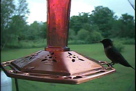 A Male Ruby-throated hummingbird photo by the Hawk Eye HD SpyCam