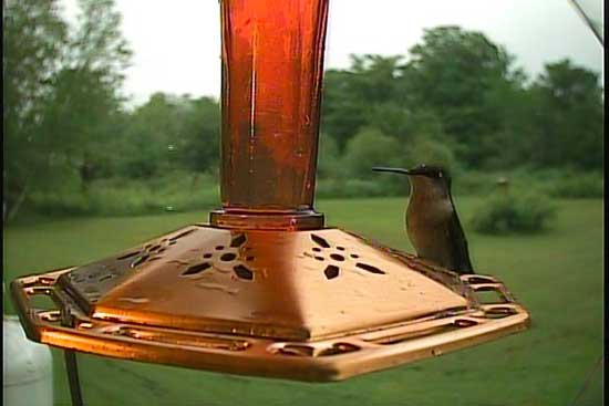 A Female Ruby-throated hummingbird photo by the Hawk Eye HD SpyCam