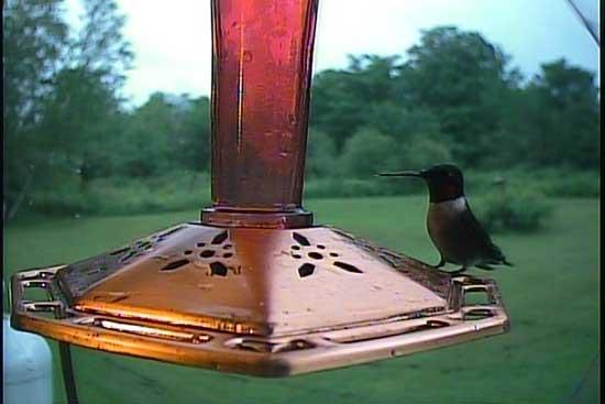 A Male Ruby-throated hummingbird photo by the Hawk Eye HD SpyCam Posing
