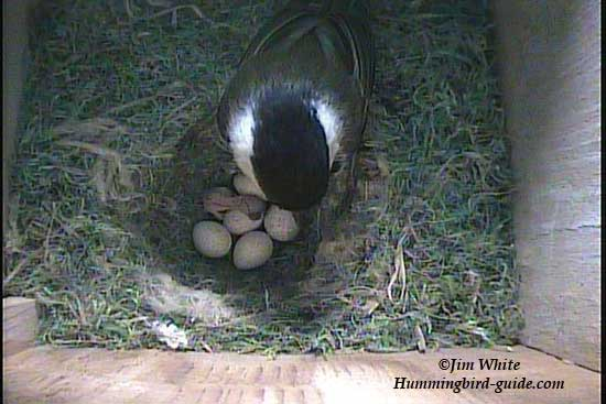 Chickadee with the first chick hatched