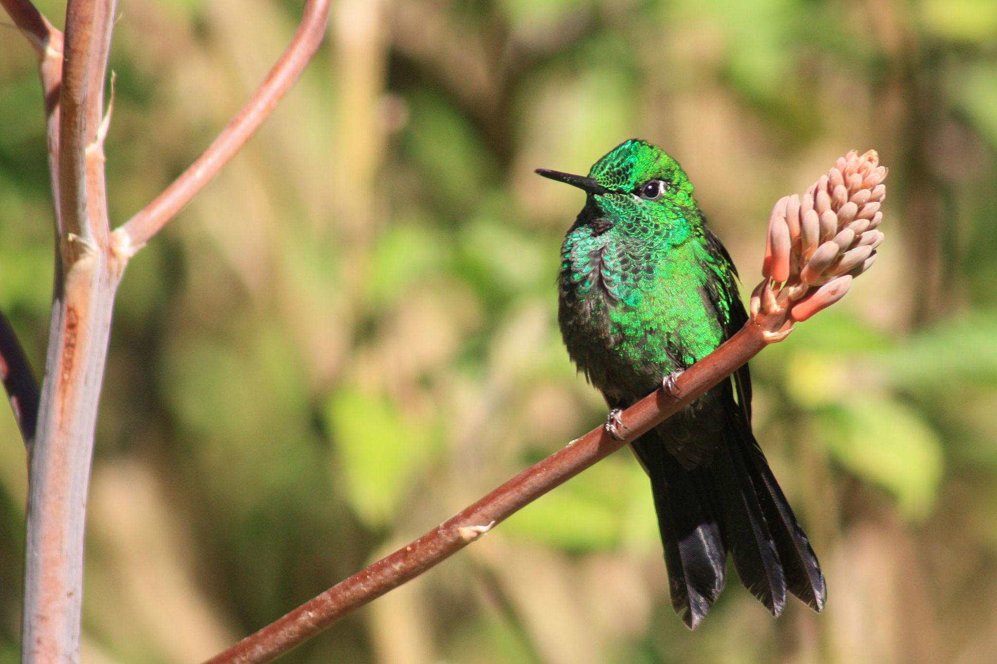 Green Crowned Brilliant Hummingbird