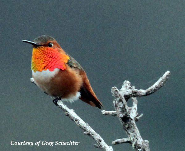Male Allen's Hummingbird
