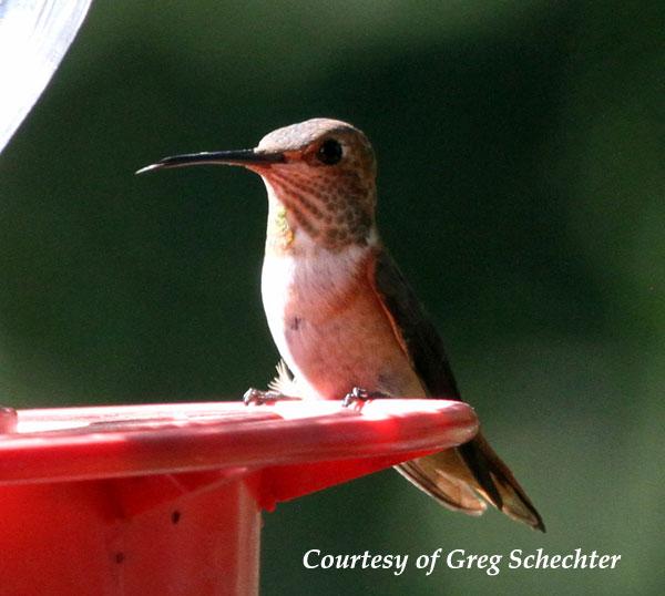 Female Allen's Hummingbird