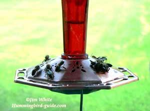 Bees on a Hummingbird Feeder