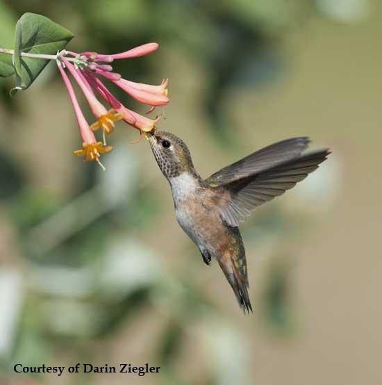 Hummingbird at Honeysuckle Vine