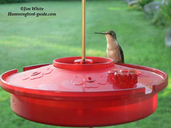 Hummingbird Haven Tray feeder with female Ruby-throat.