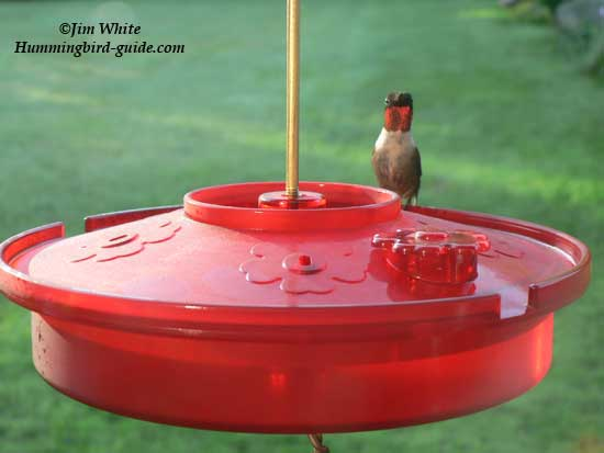 Hummingbird Haven Tray feeder with male Ruby-throat.