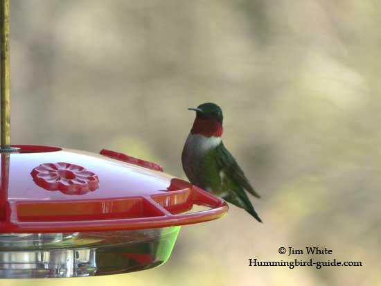 A Ruby-throat hummingbird at our HummZinger Ultra feeder
