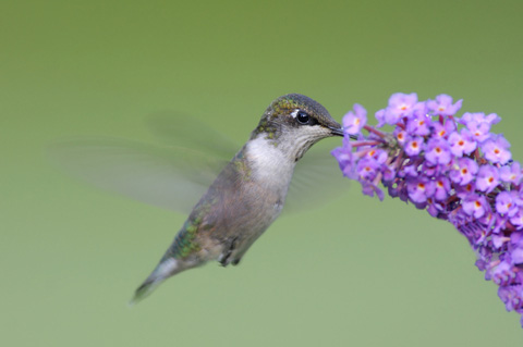 Hummingbird food from a flower