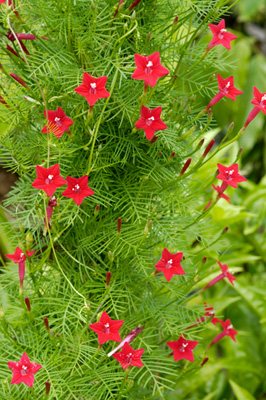 Hummingbird Cypress Vine