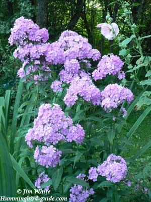 Lavender Phlox from our Hummingbird Garden