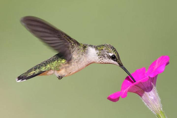 Female Ruby-throated Hummingbird at Flower
