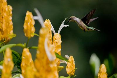 Hummingbird Flower Planting Zones. Hummingbird Plants by Zone. on