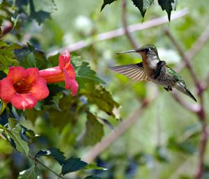 Hummingbird Trumpet Vine