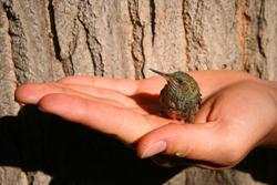 Hummingbird in Hand