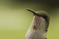 Female Ruby-throat Hummingbird