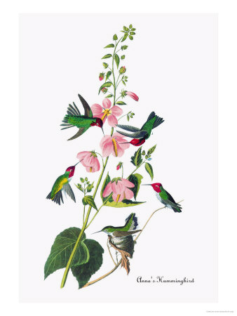 Annas Hummingbird painting by James Audubon