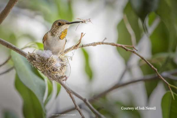 Female Allen's Hummingbird Buiding Her Nest.