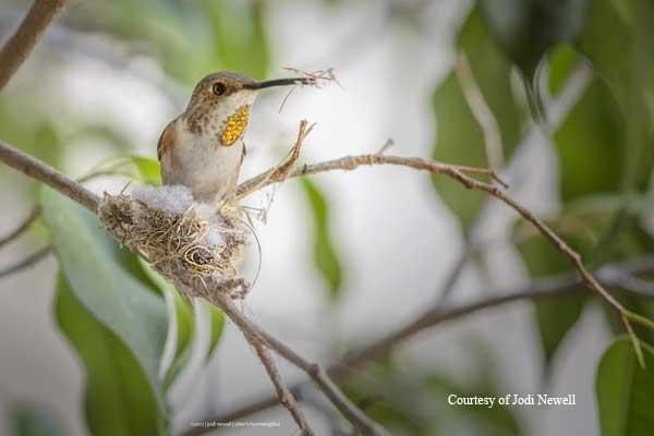 Female Allen's Hummingbird Buiding Her Nest.