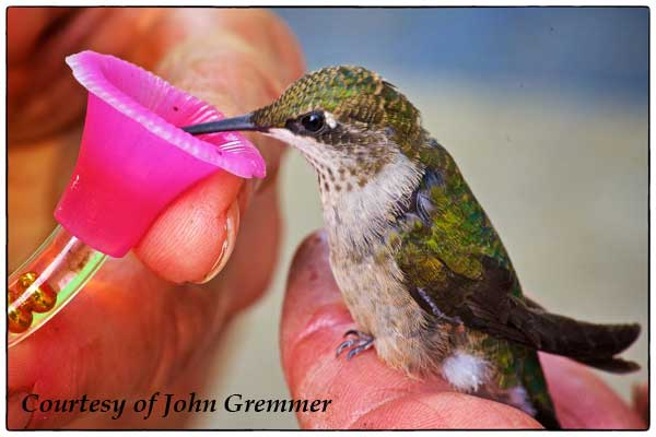 Feeding Sick Hummingbird
