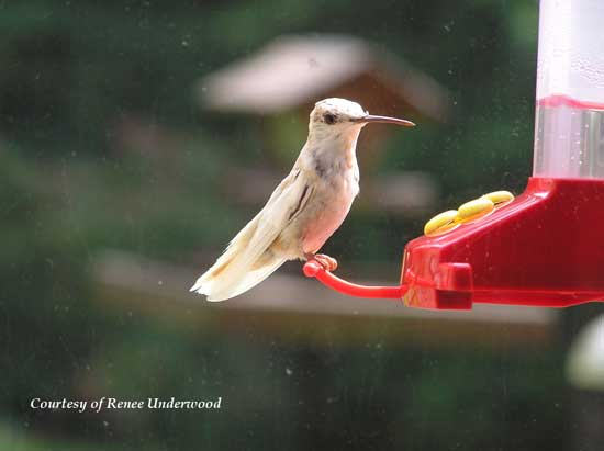 Leucistic Hummingbird at a Feeder